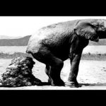 elephant-diahrea